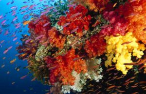 Как размножаются кораллы