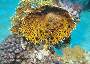Огненный коралл — жгучие миллепоры